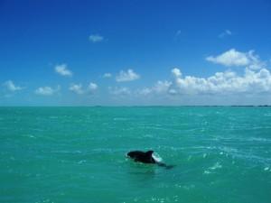 Dolphins in Corozal Bay