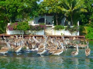 Pelicans in Livinston, Guatemala