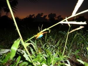 beetle in Belize