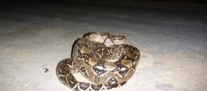 Boa Constrictor in Belize