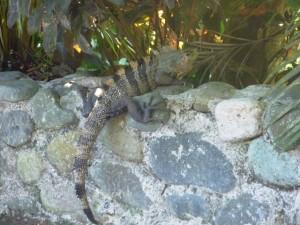 Iguana at Costa Verde Costa Rica