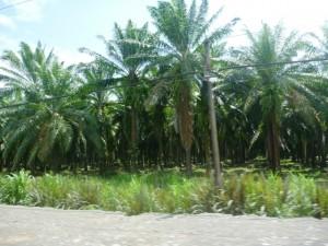 Oil Palms in Costa Rica
