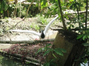 Jabiru Stork Belize Zoo