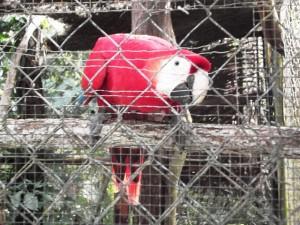 Belize Zoo Scarlet Macaw