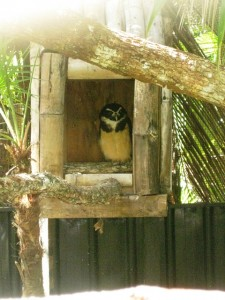 Belize Zoo owl