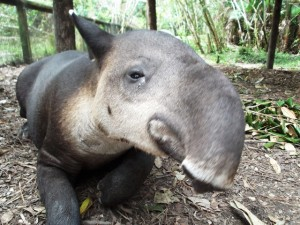 Belize Zoo Baird's Tapir